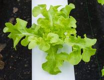 Органический hydroponic овощ стоковая фотография rf