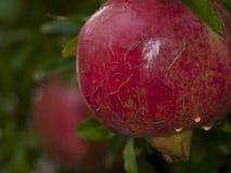 органический pomegranate стоковые фото