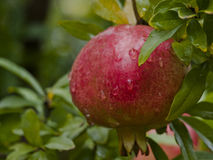 органический pomegranate стоковые изображения