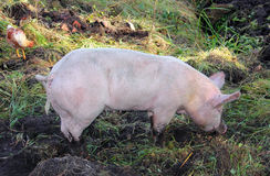Органически, который держат свинья Стоковые Фото