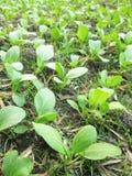 Органически растя овощи бураков и шпината в графике малого сада города vegetable Стоковое Изображение