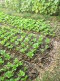Органически растя овощи бураков и шпината в графике малого сада города vegetable Стоковая Фотография RF