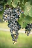 Органическое виноградное вино Стоковое Фото