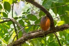 Органическое какао Theobroma стручков плодоовощ какао в природе Стоковое Изображение