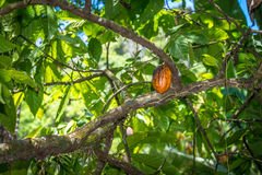 Органическое какао Theobroma стручков плодоовощ какао в природе Стоковые Фотографии RF