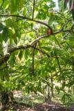 Органическое какао Theobroma стручков плодоовощ какао в природе Стоковое Изображение RF
