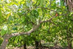 Органическое какао Theobroma стручков плодоовощ какао в природе Стоковая Фотография RF