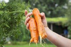 органическое морковей свежее Стоковая Фотография