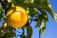 Органическое оранжевое дерево. Стоковое фото RF