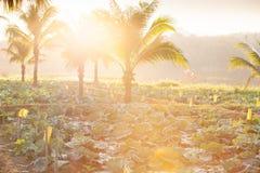 Органическое поле культивирования овоща Свежая капуста с кокосом стоковая фотография