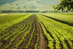 Органическое поле плантации овощей Стоковые Изображения RF