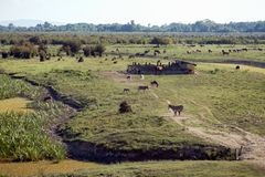 Органическое размножение скотин стоковая фотография rf