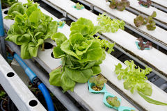 Органическое hydroponic merket Таиланда огорода Стоковая Фотография RF