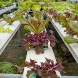 Органическое hydroponic merket Таиланда огорода Стоковая Фотография
