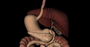 Органы пищеварительной системы человеческого тела в вращении иллюстрация штока