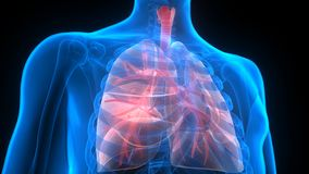 Органы человеческого тела (анатомия легких) Стоковое Фото