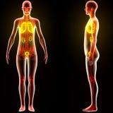 Органы человеческого тела (легкие с почками) Стоковая Фотография RF