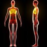 Органы человеческого тела (легкие) Стоковое Изображение