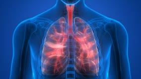 Органы человеческого тела (легкие) Стоковые Фото
