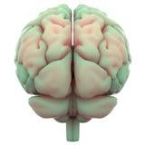 Органы человеческого тела (мозг) Стоковое Изображение RF