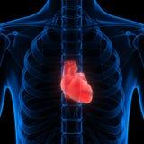 Органы человеческого тела (сердце) Стоковое Изображение RF