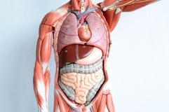 Орган человека Стоковые Изображения RF