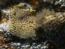 Орегон тритон & x28; Oregonensis& x29 Fusitriton; Стоковые Фотографии RF