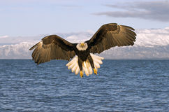 орел Аляски облыселый Стоковые Изображения
