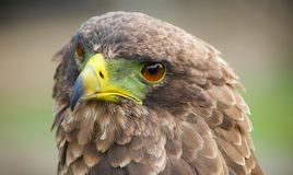 Орел Брайна с зеленым и желтым клювом Стоковое Изображение RF