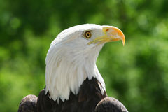 орел величественный Стоковые Фото