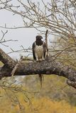 орел военный Стоковая Фотография RF