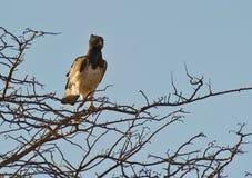 орел военный стоковое фото rf