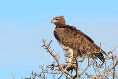 орел военный Стоковые Фотографии RF
