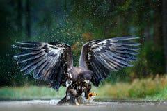 Орел в мухе над темным озером Бело-замкнутый орел, albicilla Haliaeetus, полет над рекой воды, хищная птица с лесом стоковое изображение