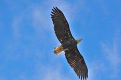 Орел в наблюдать неба стоковое изображение