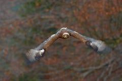 Орел в нападении полета стороны Темный орел летая степи хищной птицы кабанины, nipalensis Аквилы, с большим размахом крыла Сцена  стоковое изображение rf