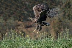 Орел замкнутый белизной стоковое фото
