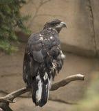 орел золотистый Стоковое фото RF