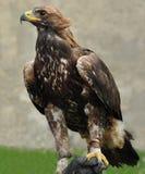 орел золотистый Стоковые Изображения