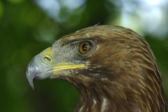 орел золотистый Стоковое Изображение RF
