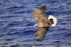 Орел летания над морем Стоковое Изображение RF