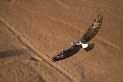 Орел летания Стоковое фото RF