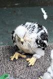орел младенца золотистый Стоковое фото RF