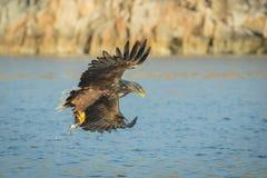 Орел моря звероловства стоковое фото rf