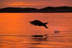 Орел моря звероловства стоковые фотографии rf