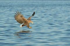 Орел моря звероловства стоковая фотография