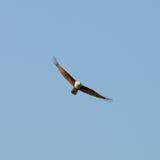 Орел мухы Стоковое Изображение