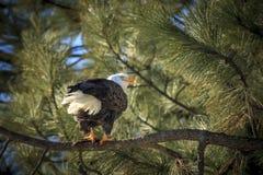Орел на ветви в дереве Стоковое Изображение RF