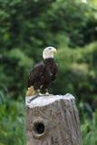 Орел на пне Стоковые Изображения