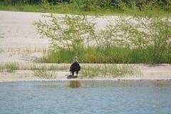 Орел на стороне реки Стоковые Изображения